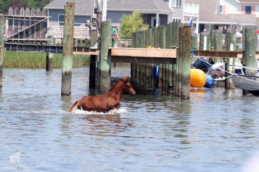 pony penning swim 2011