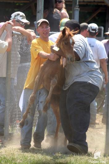 chincoteague pony auction