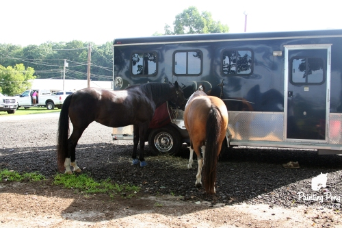 ponies tied to trailer