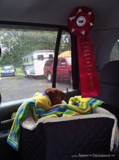 ammo the dachshund second place