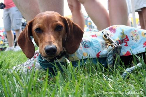 ammo the dachshund
